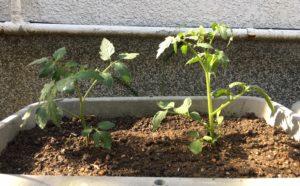 いろいろな野菜栽培2019―新たな野菜を作るための土作りと苗を植えるまで(~7日目)