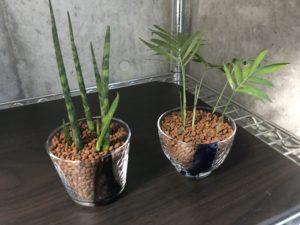 「観葉植物のハイドロカルチャー(水耕栽培)」ハイドロボールに植え替えて美しい自然を取り戻す