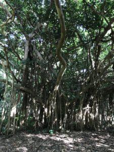 沖縄・国頭村「大石林山」琉球石灰岩でできた岩々が観れる山